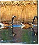 Goose Talk Too Acrylic Print