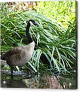 Goose Walking Back In For A Swim Acrylic Print