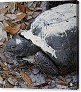 Gopher Tortoise Close Up Acrylic Print
