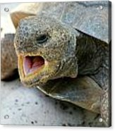 Gopher Tortoise Acrylic Print