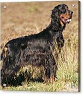 Gordon Setter Dog Acrylic Print