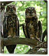 Gorgeous Great Horned Owls Acrylic Print