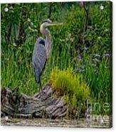 Gorgeous Heron Acrylic Print