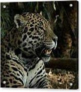 Gorgeous Jaguar Acrylic Print