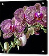 Gorgeous Orchids Acrylic Print