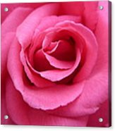 Gorgeous Pink Rose Acrylic Print