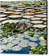 Gorgeous Water Lilies Acrylic Print