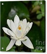 Gorgeous White Lotus Flower Blossom Acrylic Print