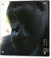 Gorilla-10 Acrylic Print