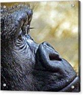 Gorilla Contemplating Acrylic Print