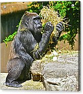 Gorilla Eats Acrylic Print