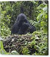 Gorilla In Our Midst Acrylic Print