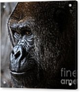 Gorilla In Thought Acrylic Print