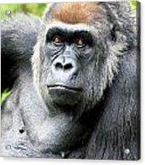 Gorilla Pose Acrylic Print