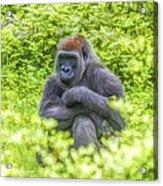 Gorilla Resting Acrylic Print