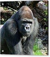 Gorilla135 Acrylic Print