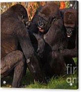 Gorillas Having Fun Together  Acrylic Print