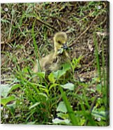 Gosling Chewing On Some Grass Acrylic Print