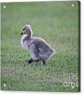 Gosling Stroll Acrylic Print