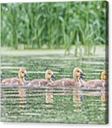 Goslings All In A Row Acrylic Print