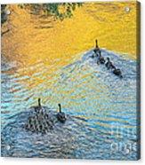 Goslings Morning Swim Acrylic Print