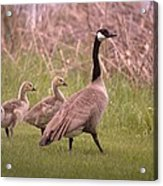 Goslings On A Walk Acrylic Print