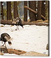 Gould's Wild Turkey Acrylic Print