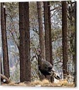Gould's Wild Turkey IIi Acrylic Print