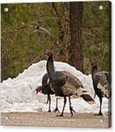 Gould's Wild Turkey Iv Acrylic Print
