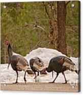 Gould's Wild Turkey V Acrylic Print