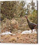Gould's Wild Turkey Vii Acrylic Print