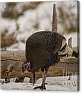 Gould's Wild Turkey Xi Acrylic Print