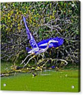 Gr8 Heron Flight Acrylic Print