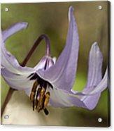 Graceful Fawn Lily Acrylic Print