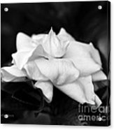Graceful Soft And Sweet Acrylic Print