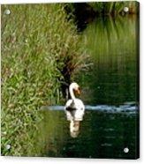 Graceful Swan Acrylic Print by Lizbeth Bostrom