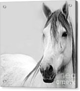Gracie Grey Acrylic Print by Lynda Dawson-Youngclaus
