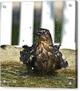 Grackle In The Bird Bath 1 Acrylic Print