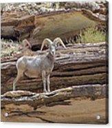 Grand Canyon Big Horn Sheep Acrylic Print