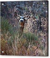 Grand Canyon Deer Acrylic Print