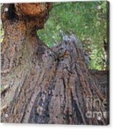 Grandfather Redwood Tree Acrylic Print