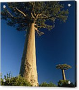 Grandidiers Baobab Trees Madagascar Acrylic Print
