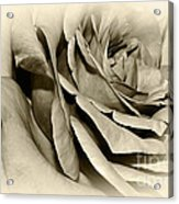Grandma's Rose Acrylic Print