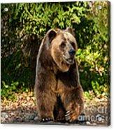 Grandpa Bear Acrylic Print