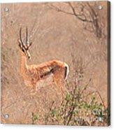 Grant's Gazelle Nanger Granti Acrylic Print