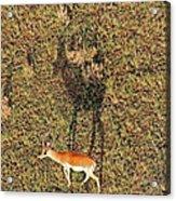 Grants Gazelle Acrylic Print