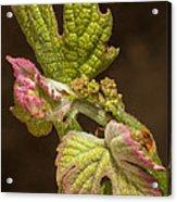 Grape Bud Break Acrylic Print