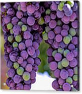 Grape Bunches Portrait Acrylic Print