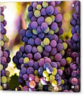 Grape Bunches Wide Acrylic Print