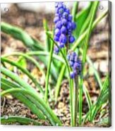 Grape Hyacinth Acrylic Print